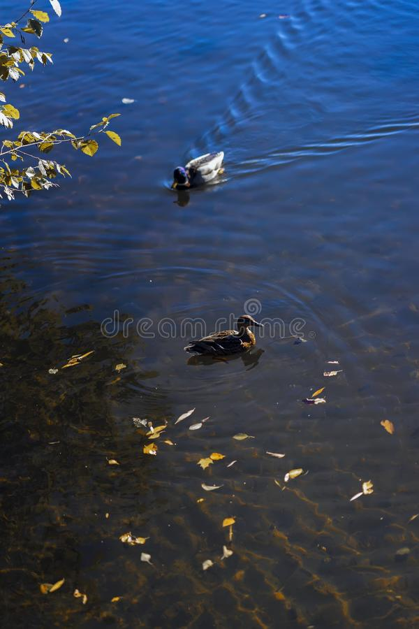 Wild ducks swims in the cold blue pond with autumn yellow leaves in water. Seasons. Concept of fall. Modern background. Wild ducks swims in the cold blue pond royalty free stock images