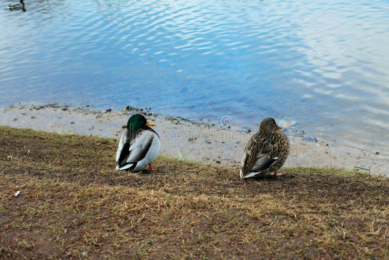 Wild ducks walk near a lake in a city park in autumn stock photography