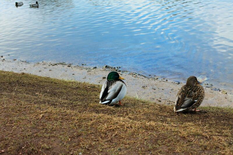 Wild ducks walk near a lake in a city park in autumn stock photos