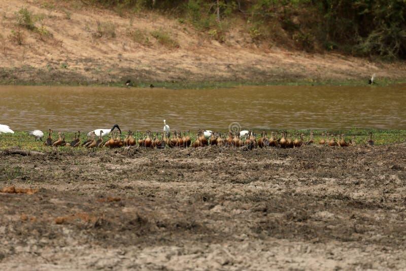 Wild ducks in the Yala National Park in Sri Lanka. The Wild ducks in the Yala National Park in Sri Lanka royalty free stock photos