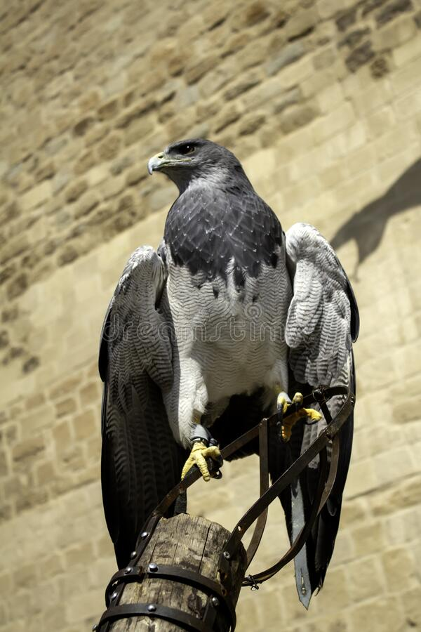 Wild eagle falconry. Animals and nature, birds royalty free stock images