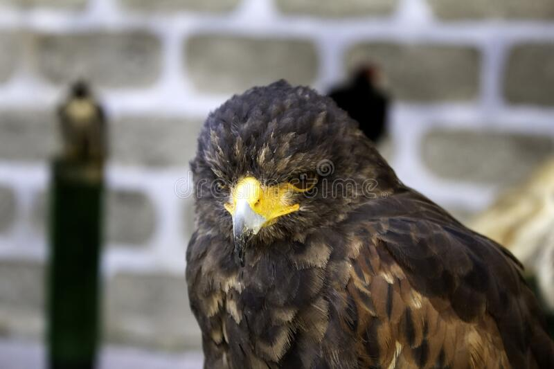 Wild eagle falconry. Animals and nature, birds royalty free stock image