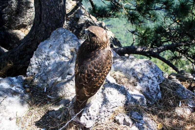 Wild eagle sitting on a stone royalty free stock photos