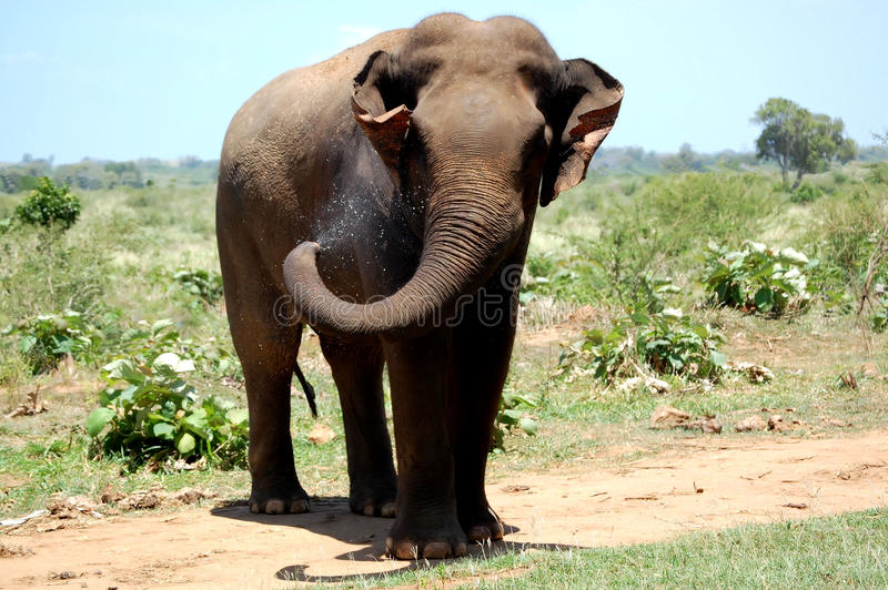 wild elefant arkivbilder