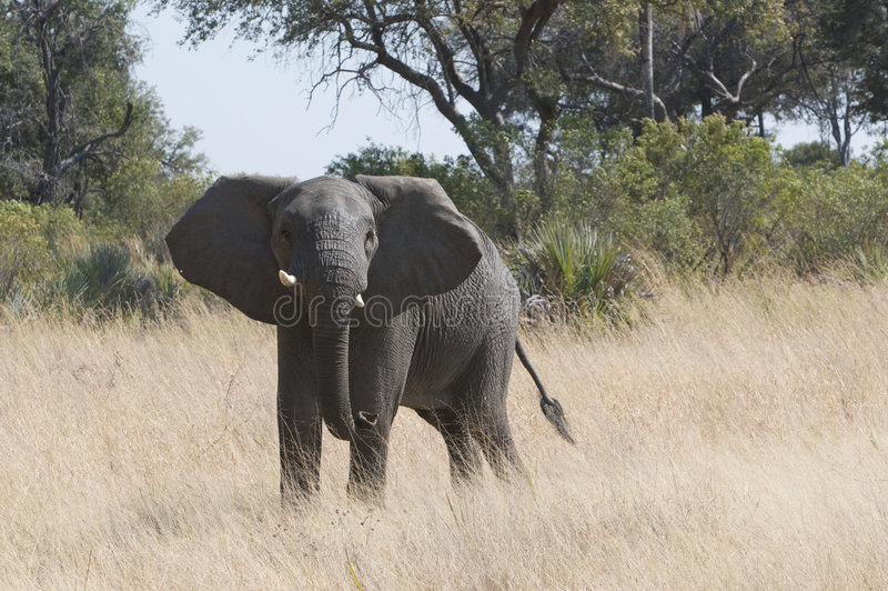 Download Wild elephant stock photo. Image of african, roam, bushes - 6207832