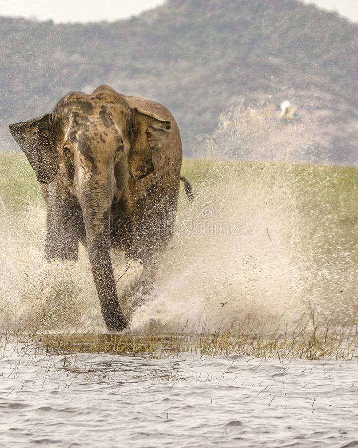 Wild elephant attack royalty free stock photo
