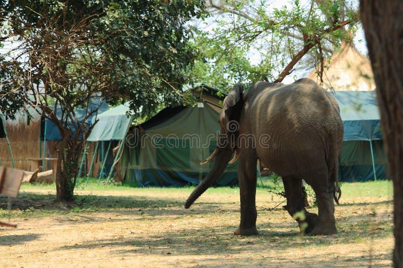 Wild elephant on the campsite royalty free stock photos