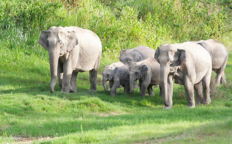 Wild elephant. Family group of wild elephant in the national park ,taken from hiding spot stock photo
