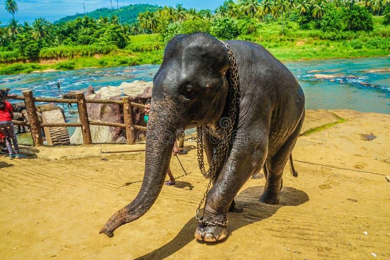 Wild elephant image Sri Lanka Pinnawara stock photos