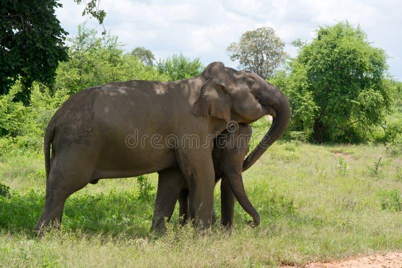 Wild Elephant InUdawalawe National Park, Sri lanka stock photo