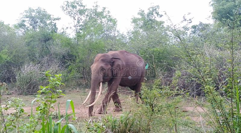 Wild elephant near the road in Udawalawa Sri Lanka. Is common view during the travelling Udawalawa road. Tourist attraction place stock image