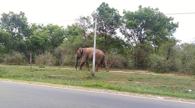 Wild elephant near the road in Udawalawa Sri Lanka. Is common view during the travelling Udawalawa road. Tourist attraction place royalty free stock photo