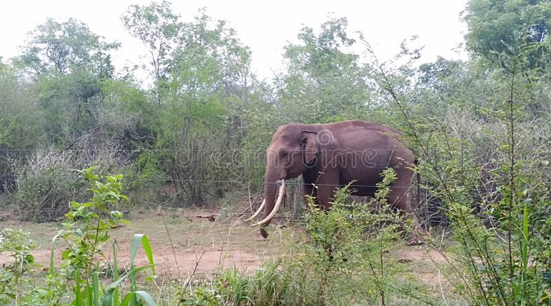 Wild elephant near the road in Udawalawa Sri Lanka. Is common view during the travelling Udawalawa road. Tourist attraction place stock photography