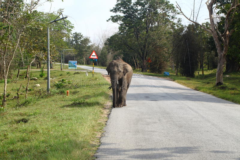 Download Wild elephant on the road stock photo. Image of road - 21678338