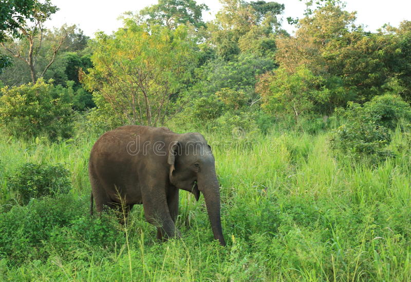 Wild Elephant. In Sril Lanka royalty free stock images