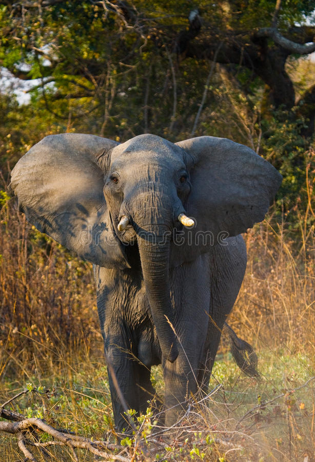 Wild elephant is standing in the bush. Zambia. South Luangwa National Park. royalty free stock photo