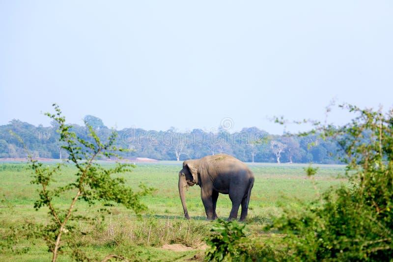 Wild Elephant udawalawa Sri Lanka. Wild Elephant udawalawa national park Sri Lanka royalty free stock photo