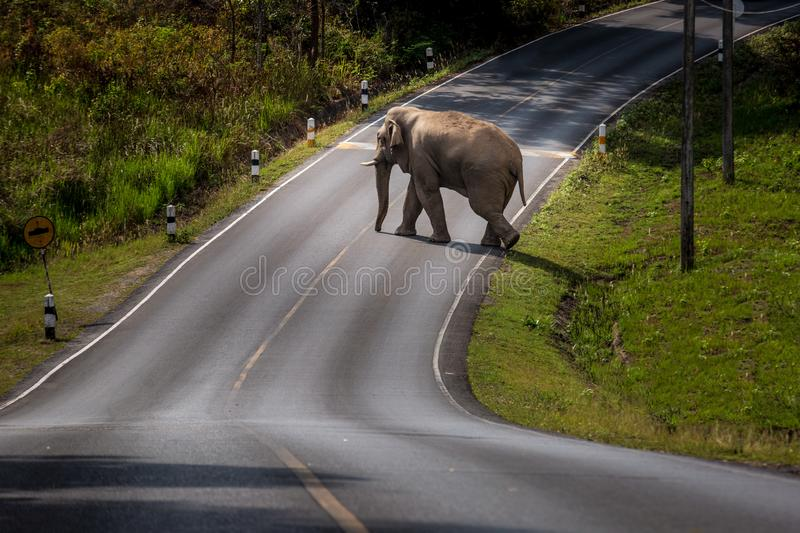 Wild Elephant walk across the road at Khaoyai national park thailand. Wild Elephant walk across green grass field at Khaoyai national park Nakhon Ratchasima stock images