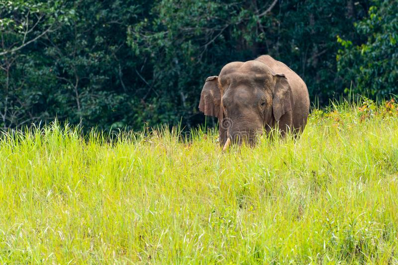 Wild elephant walking in meadow in national park stock photo