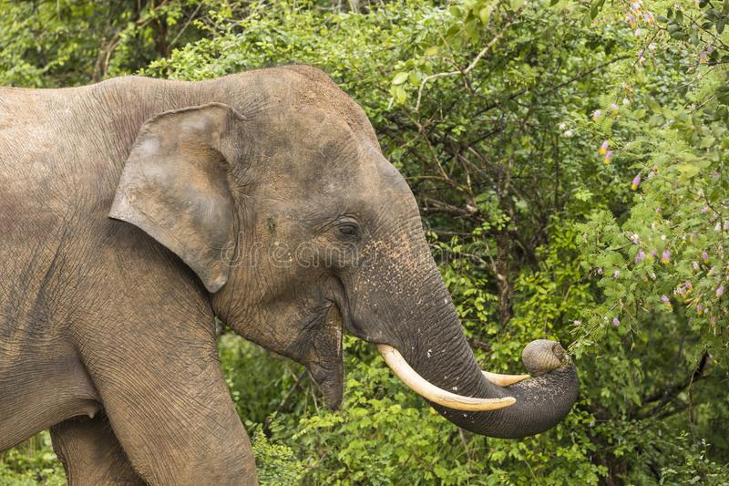 Wild elephant in Yala National Park elephant eating leaves royalty free stock photography