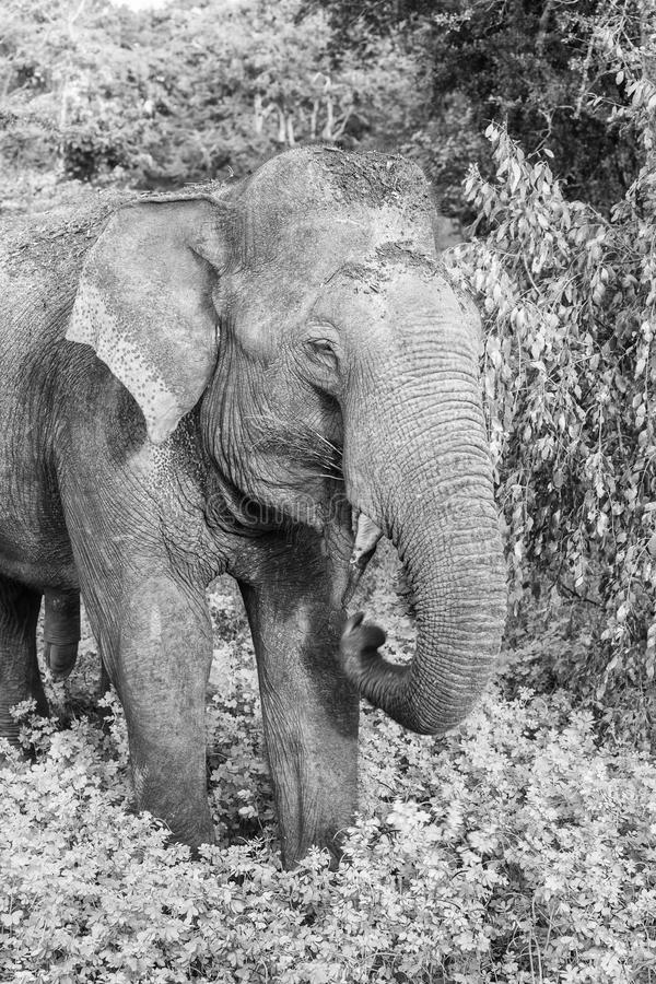 Wild elephant in Yala National Park, Sri Lanka stock photography