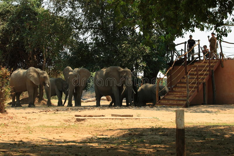 Wild elephants on the campsite royalty free stock image