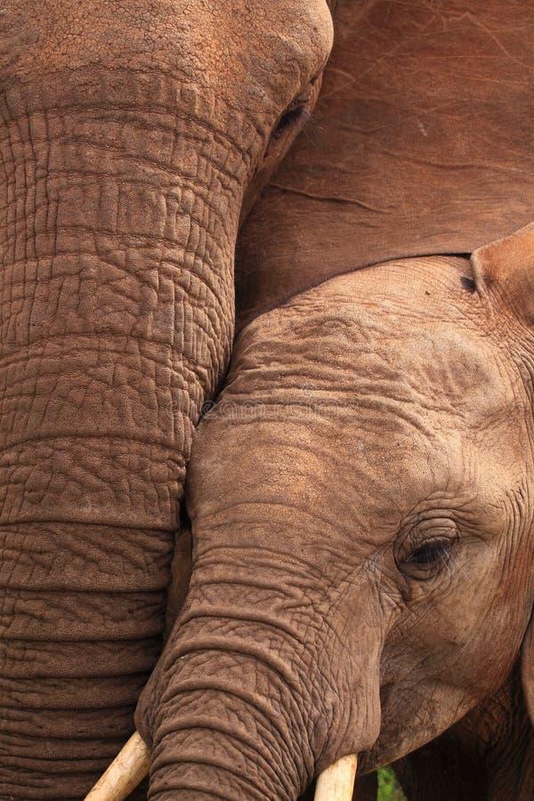 Wild elephants close-up stock photos