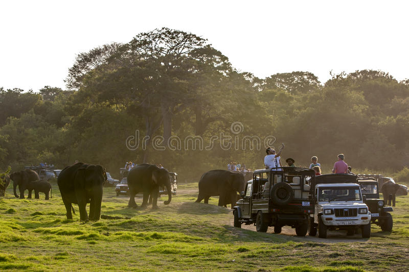 Wild elephants wander past safari jeeps in Minneriya National Park in central Sri Lanka. stock image