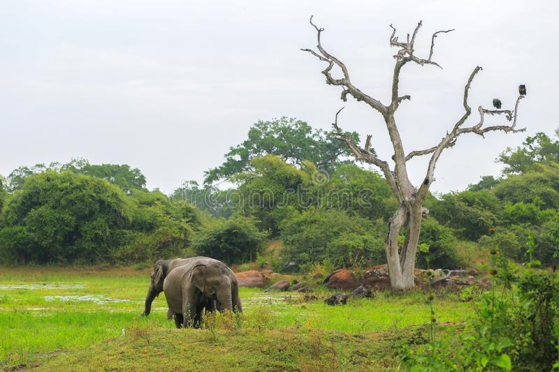 Wild elephants in the Yala National Park royalty free stock image