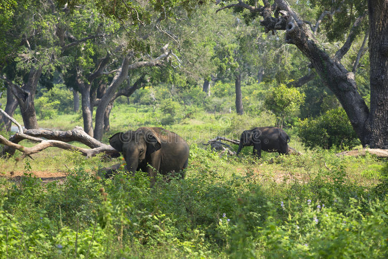 Wild elephants in Yala national Park. Sri Lanka stock images