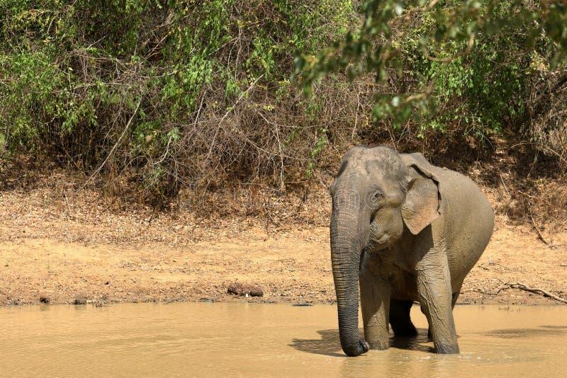 Wild elephants in the Yala National Park of Sri Lanka stock photography
