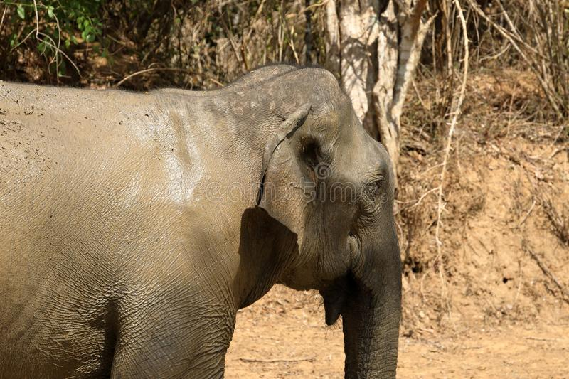 Wild elephants in the Yala National Park of Sri Lanka stock photo