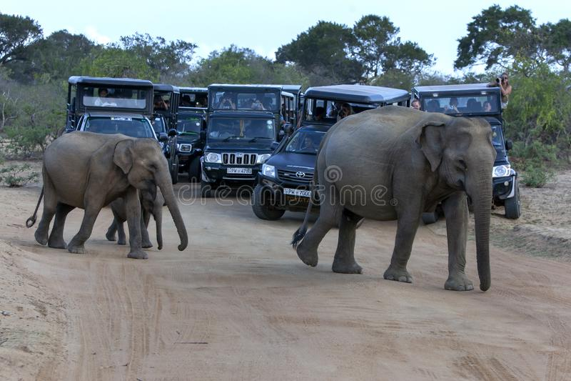 Wild elephants in Yala National Park. royalty free stock images