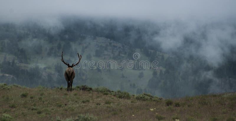 Elk bull on foggy morning royalty free stock image
