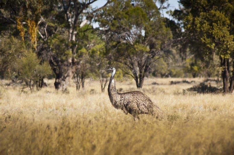 Wild Emu Royaltyfri Foto
