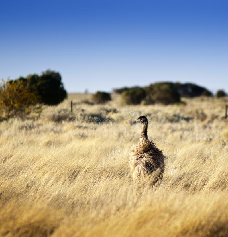 Download Wild Emu stock photo. Image of background, paddock, head - 27413718