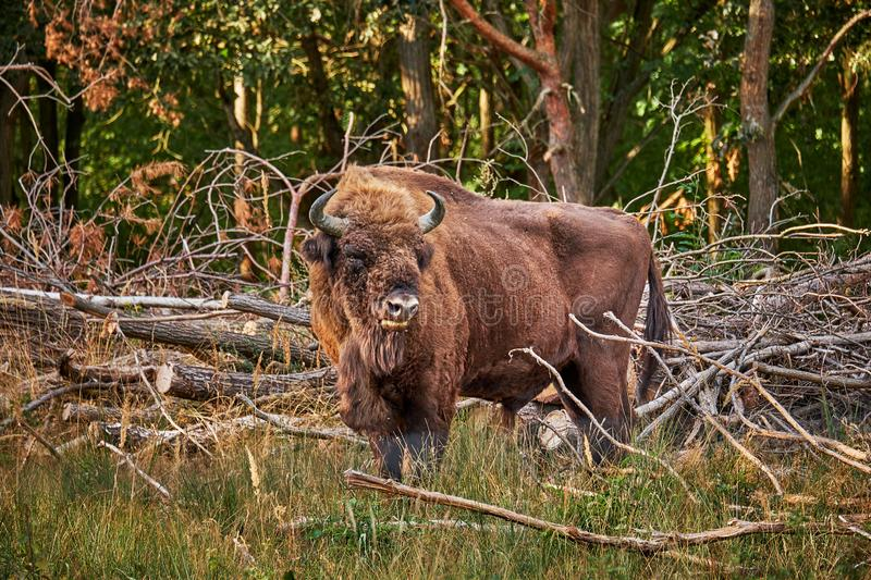 A wild european bison Wisent coming out of a forest looking for fresh grass in the evening sun royalty free stock photos
