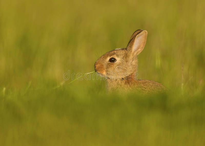 Wild European Rabbit (Oryctolagus cuniculus). European Rabbit Oryctolagus cuniculus, juvenile eating grass stem in the meadow royalty free stock images