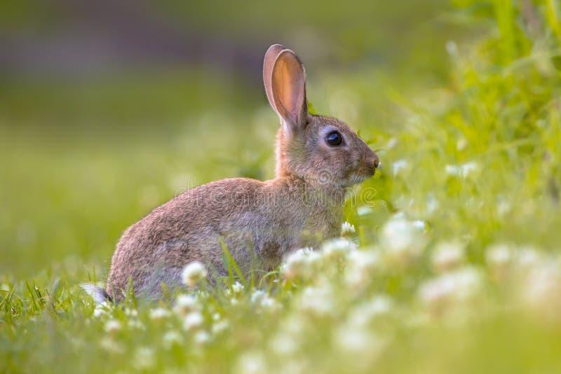 Wild Europees konijn in gras stock afbeeldingen