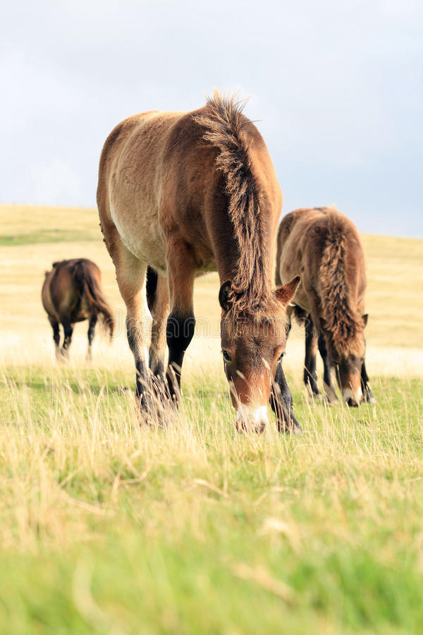 Wild Exmoor ponies stock photo