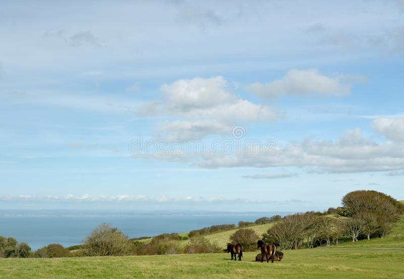 Wild Exmoor ponies on Countisbury, North Devon. Wild Exmoor ponies roaming on Countisbury, North Devon above the Bristol Channel stock images