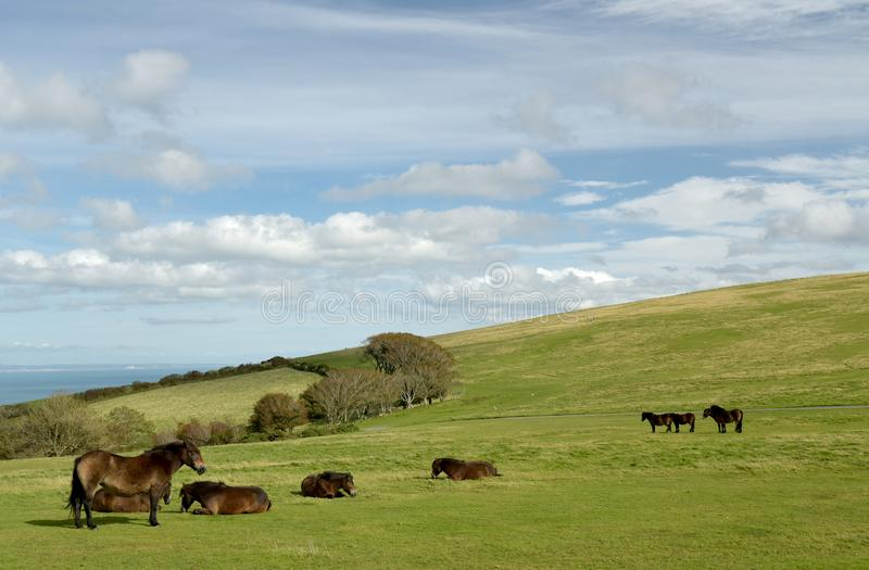Wild Exmoor ponies on Countisbury, North Devon. Wild Exmoor ponies roaming on Countisbury, North Devon above the Bristol Channel royalty free stock photo