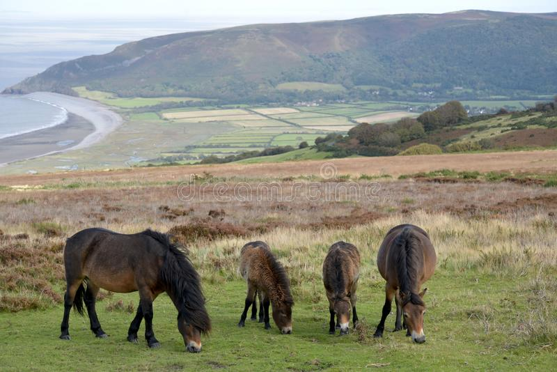 Wild Exmoor ponies on Porlock Hill, North Devon. Wild Exmoor ponies roaming on Porlock Hill, above Bristol Channel in North Devon stock photos