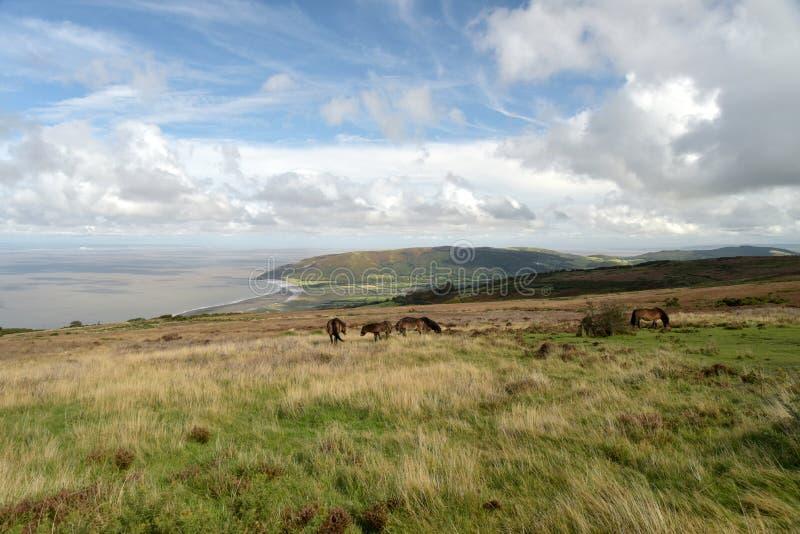 Wild Exmoor ponies on Porlock Hill, North Devon. Wild Exmoor ponies roaming on Porlock Hill, above Bristol Channel in North Devon stock photography