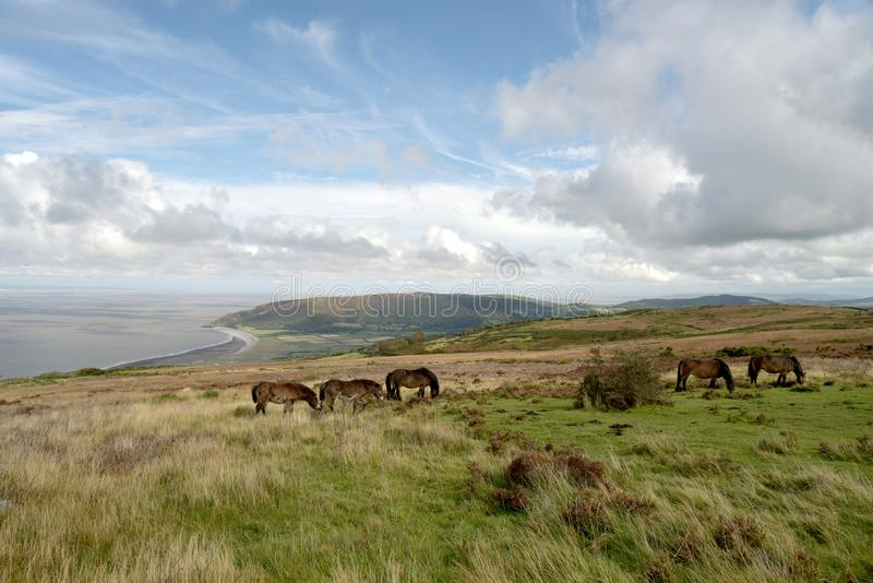 Wild Exmoor ponies on Porlock Hill, North Devon. Wild Exmoor ponies roaming on Porlock Hill, above Bristol Channel in North Devon stock photo