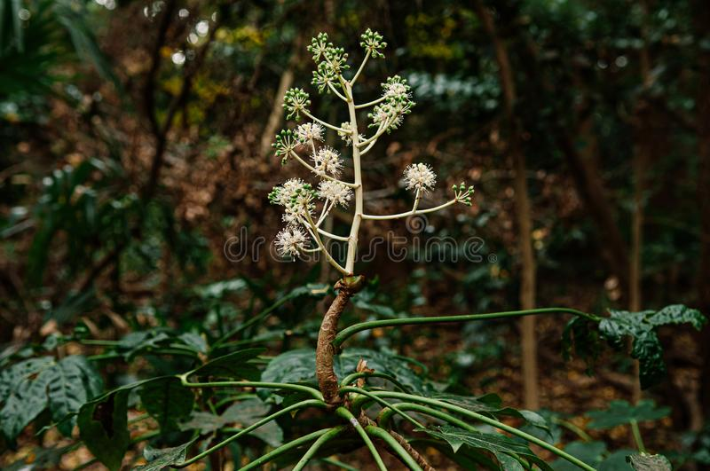 Wild exotic flower Fatsia Japonica or Japanese Aralia in forest. Wild exotic flower Fatsia Japonica or Japanese Aralia full bloom with fruits in forest stock photo
