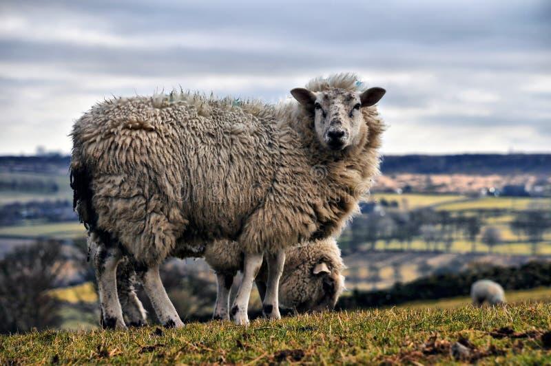 Wild får i de yorkshire dalarna, england arkivfoton