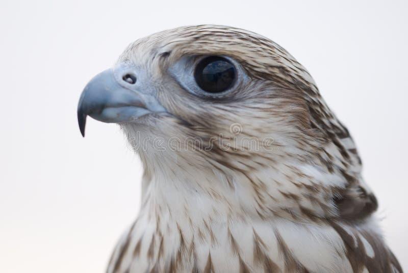 Wild Falcon royalty free stock photography