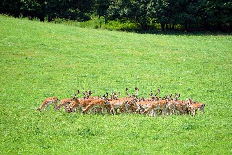 Herd of wild fallow deers. Wild fallow deers stock photos