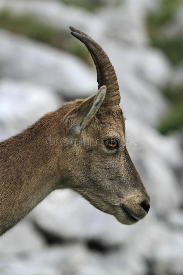Wild female alpine ibex - steinbock portrait stock photo